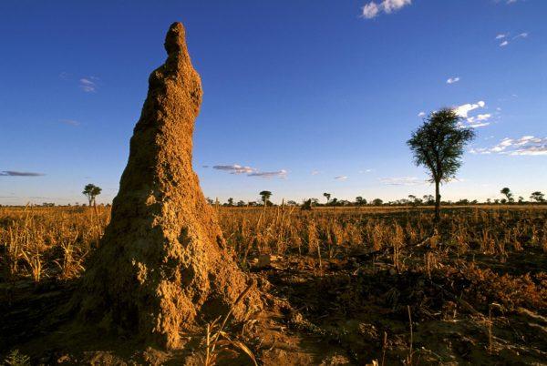 mound-building termites